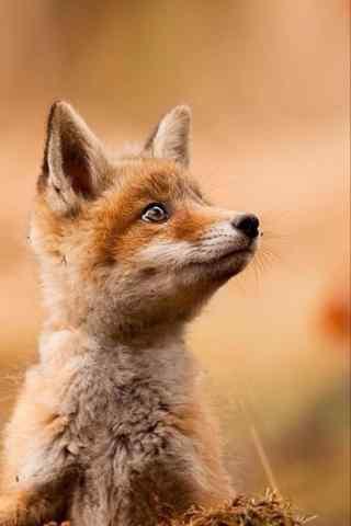 机灵的狐狸手机壁纸