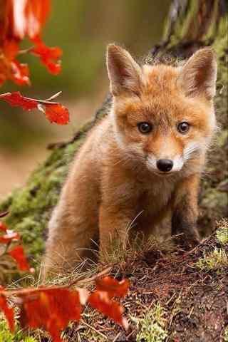 萌萌哒可爱的小狐狸手机壁纸
