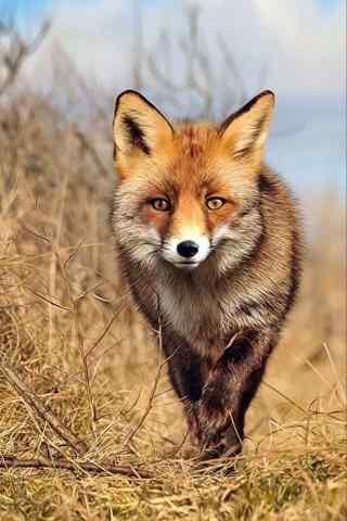 草丛中行走的小狐狸手机壁纸