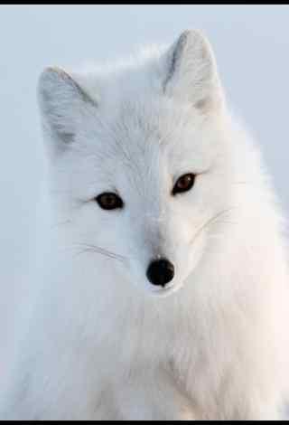 白色美丽的北极狐手机壁纸