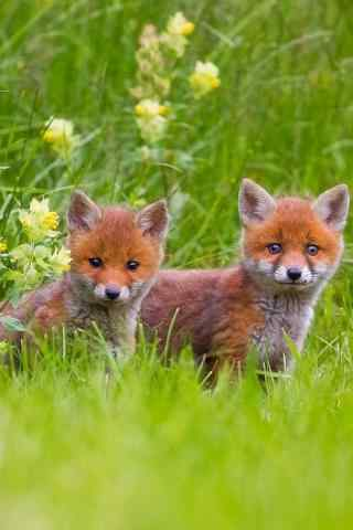 草地上两只可爱的小狐狸手机壁纸