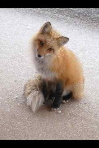 一只可爱的小狐狸手机壁纸