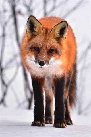 雪地里狐狸手机壁纸