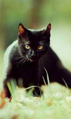 黑猫草地小清新图片手机壁纸