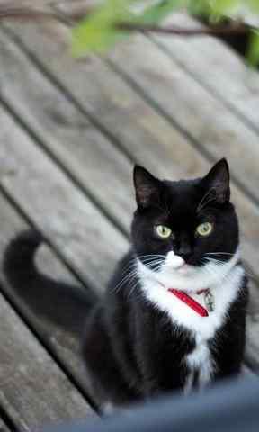 黑猫可爱白色脖子图片手机壁纸