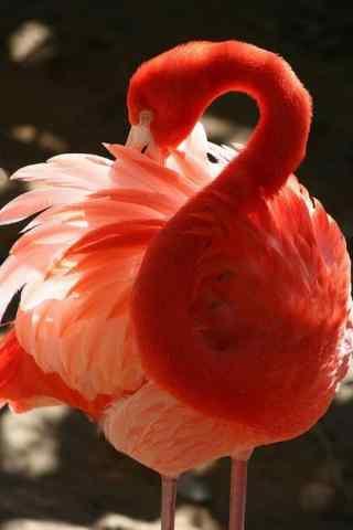 火烈鸟漂亮羽毛图片手机壁纸