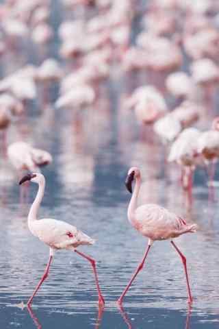 粉白色火烈鸟长腿图片手机壁纸