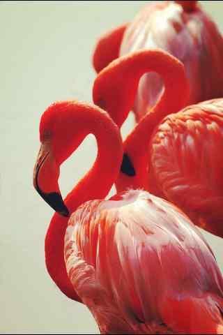 火烈鸟创意摄影图片手机壁纸