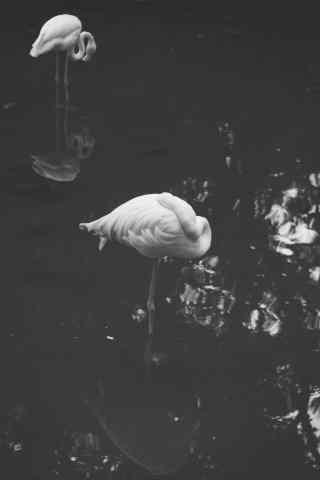 火烈鸟创意黑白摄影高清图片手机壁纸
