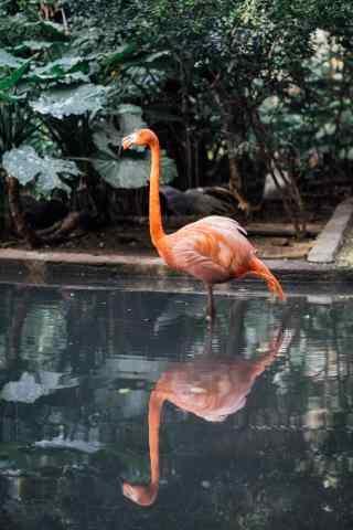 火烈鸟优雅单脚站立图片手机壁纸