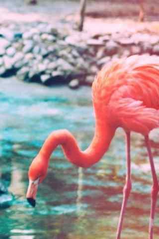 粉色火烈鸟图片手机壁纸