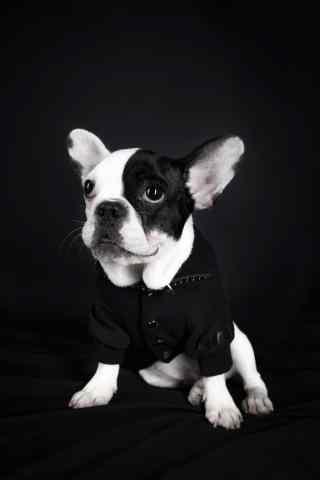 黑白脸斗牛犬可爱写真图片手机壁纸