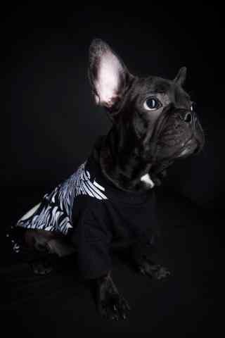 黑色斗牛犬认真表情图片手机壁纸