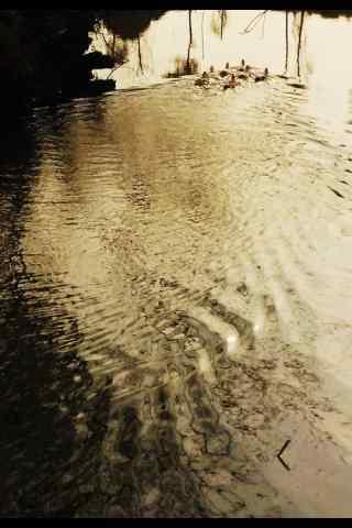 黄昏在池塘里闲游