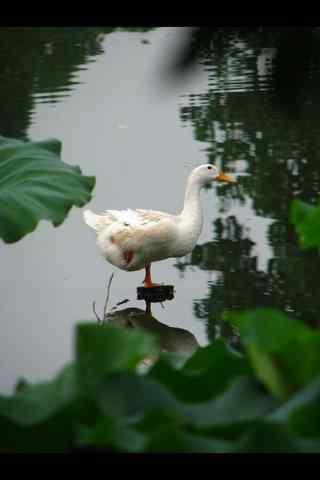 单脚站立的白色鸭