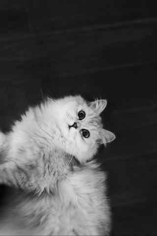 灰色小猫咪抬头卖