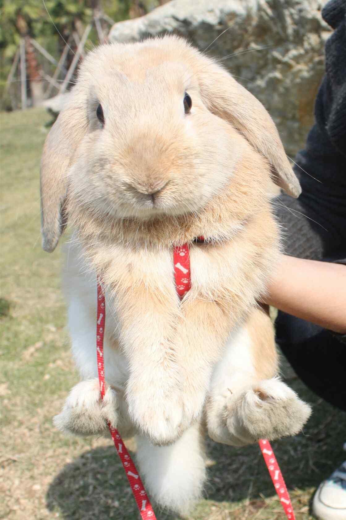 漂亮可爱的垂耳兔图片手机壁纸