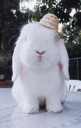 纯白色优雅的垂耳兔图片手机壁纸