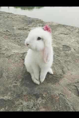 美丽的垂耳兔优雅