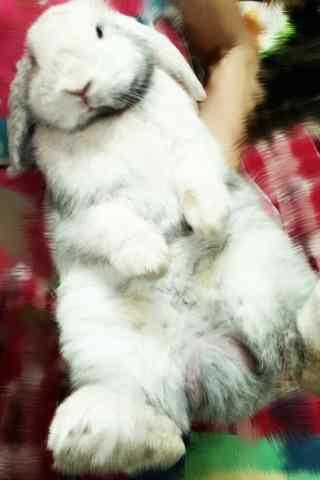 萌萌哒垂耳兔图片