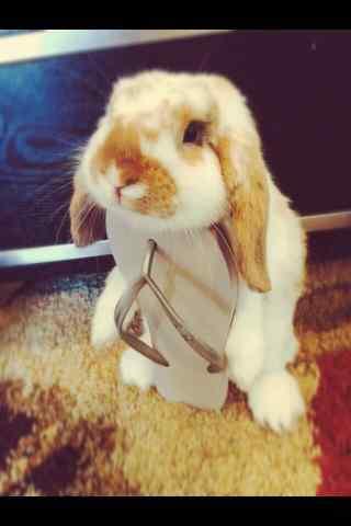 可爱的垂耳兔图片