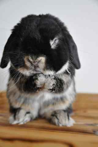 黑白色的垂耳兔可爱卖萌图片手机壁纸