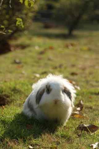 草坪上的垂耳兔可爱图片手机壁纸