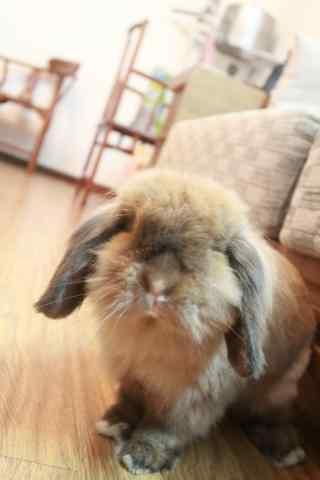 垂耳兔搞笑图片手