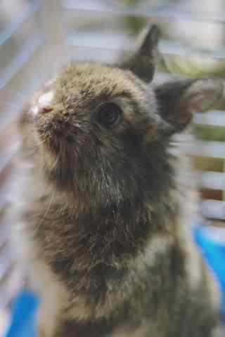 圆圆眼睛的垂耳兔