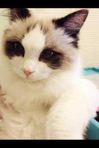 可爱的布偶猫手机壁纸