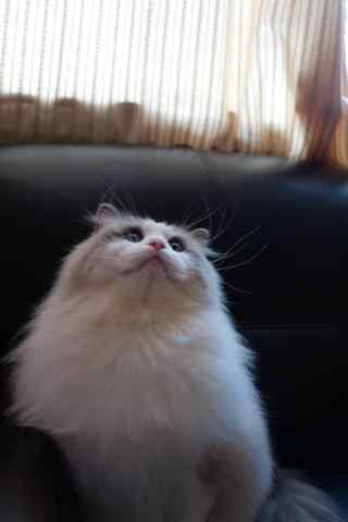 抬头的布偶猫手机壁纸