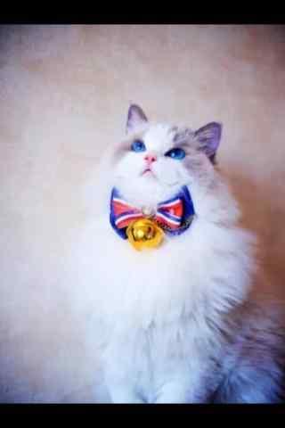 呆萌可爱的布偶猫手机壁纸