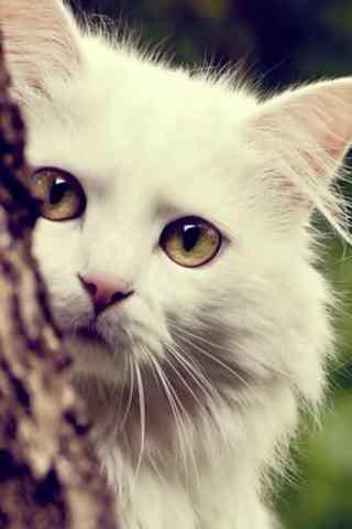 躲在树后的布偶猫手机壁纸