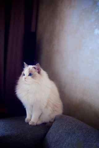 蹲在角落的布偶猫手机壁纸