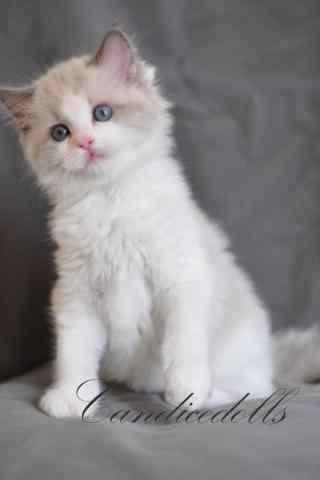 可爱的小布偶猫手机壁纸