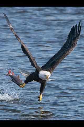 捕获一条鱼的老鹰图片手机壁纸