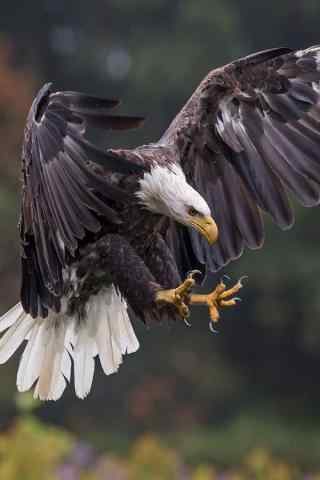老鹰展翅捕猎图片手机壁纸