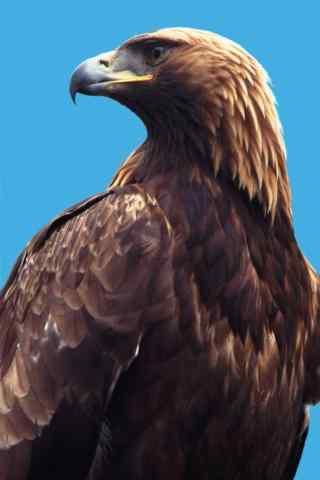 美丽羽毛的老鹰图片手机壁纸