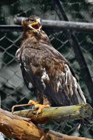 老鹰吼叫图片手机壁纸