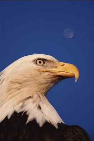 雄鹰尖嘴特写图片手机壁纸