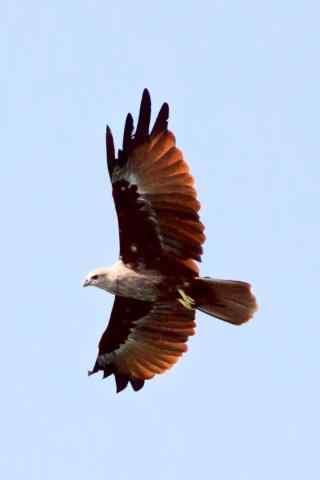 展翅蓝天的老鹰图片手机壁纸