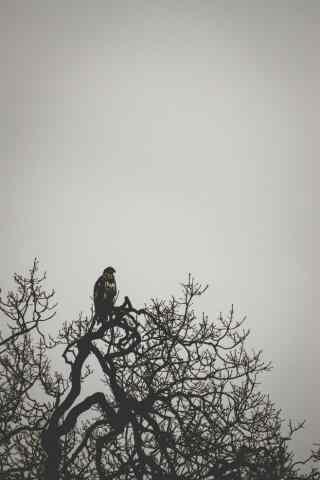 树枝上准备捕猎的老鹰唯美黑白图片