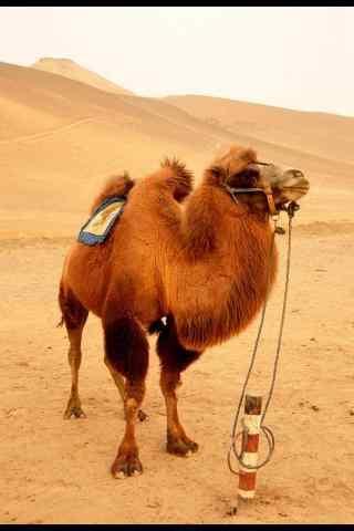 双峰骆驼手机壁纸