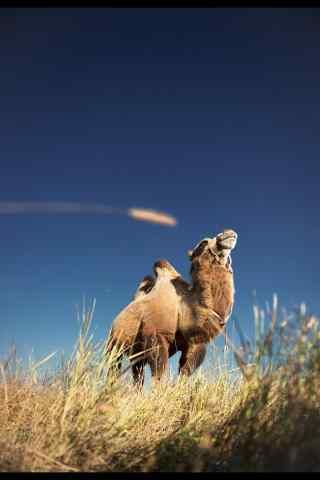 唯美蓝天下的骆驼手机壁纸