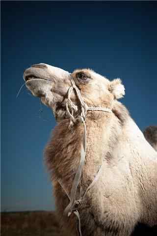白色的骆驼手机壁纸