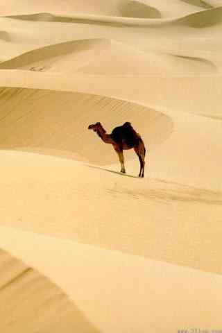 骆驼图片手机壁纸