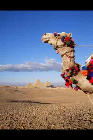 骆驼沙漠写真手机壁纸