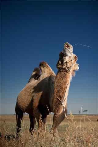 草地上的骆驼手机壁纸