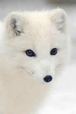 萌萌的北极狐手机壁纸