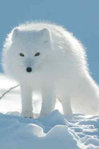 雪地上的北极狐手机壁纸